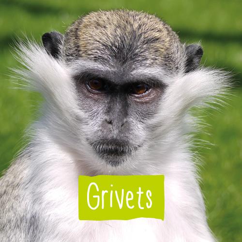 A Grivet monkey