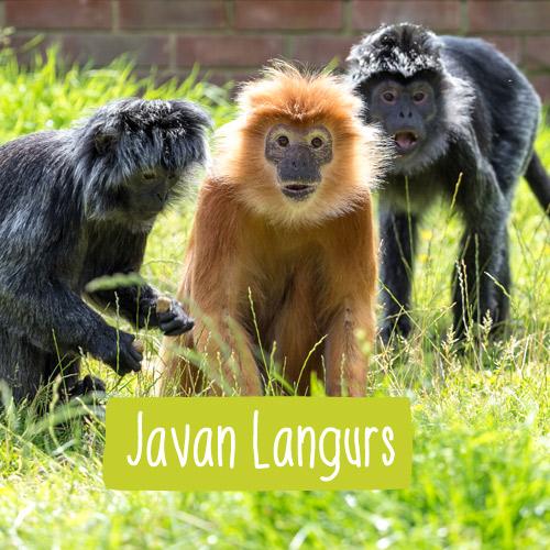 Three Javan Langur monkeys sitting together
