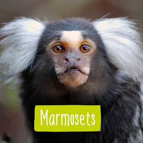 A marmoset monkey