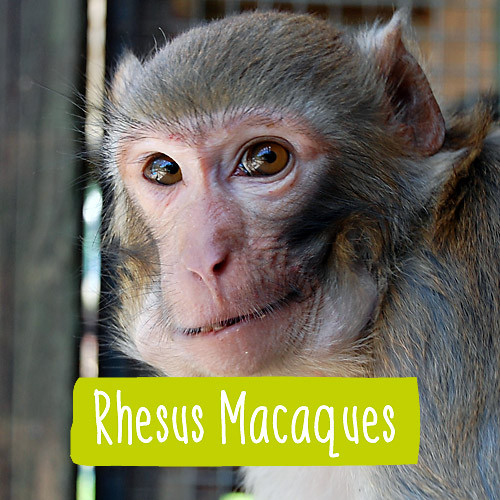 Close up of a Rhesus Macaque