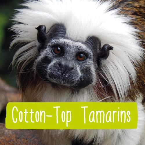 A Capuchin monkey close up
