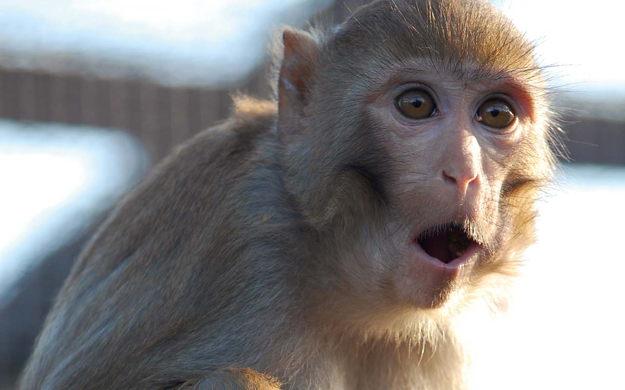 close up of a rhesus Macaque monkey