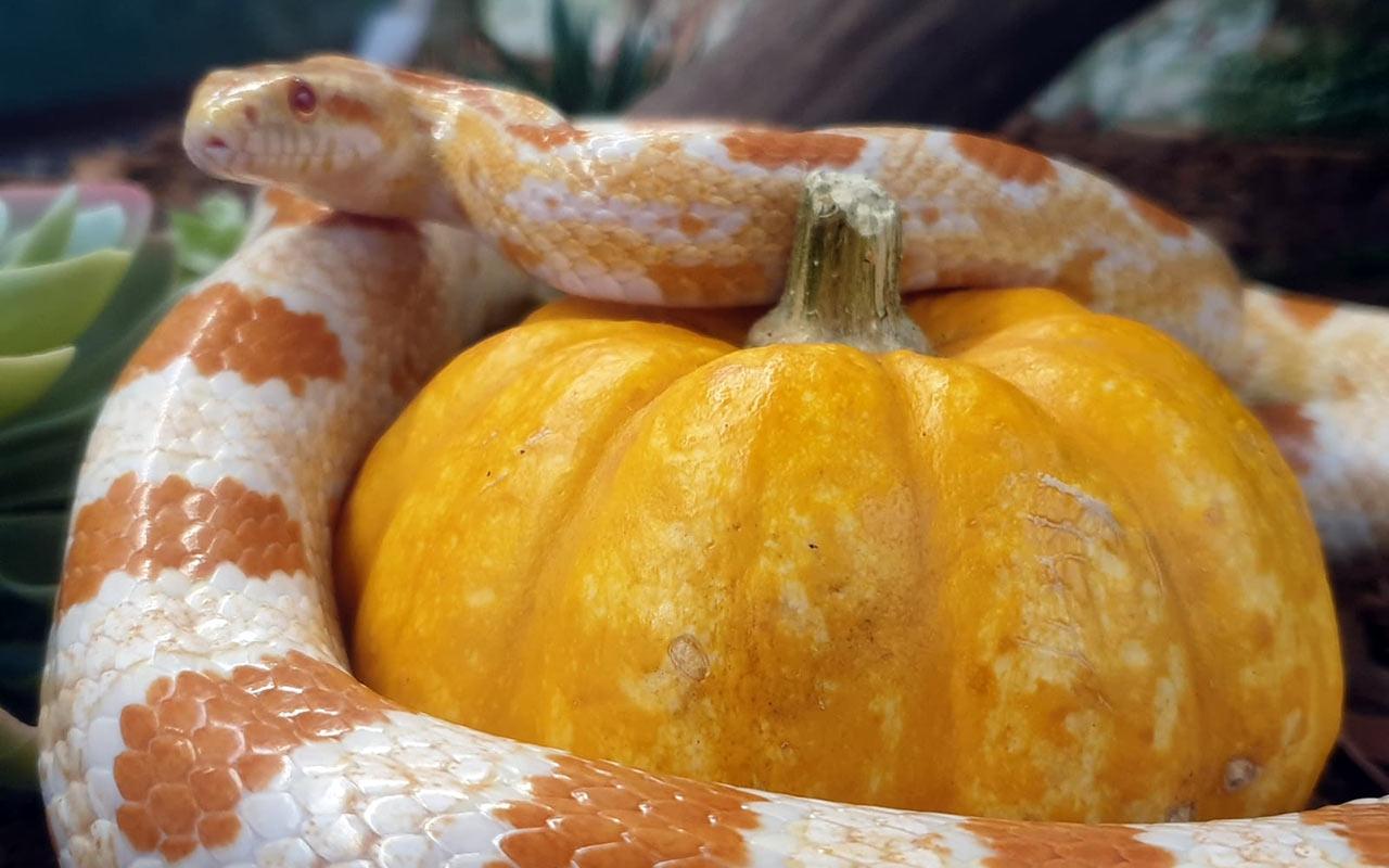 Snake coiled around a pumpkin