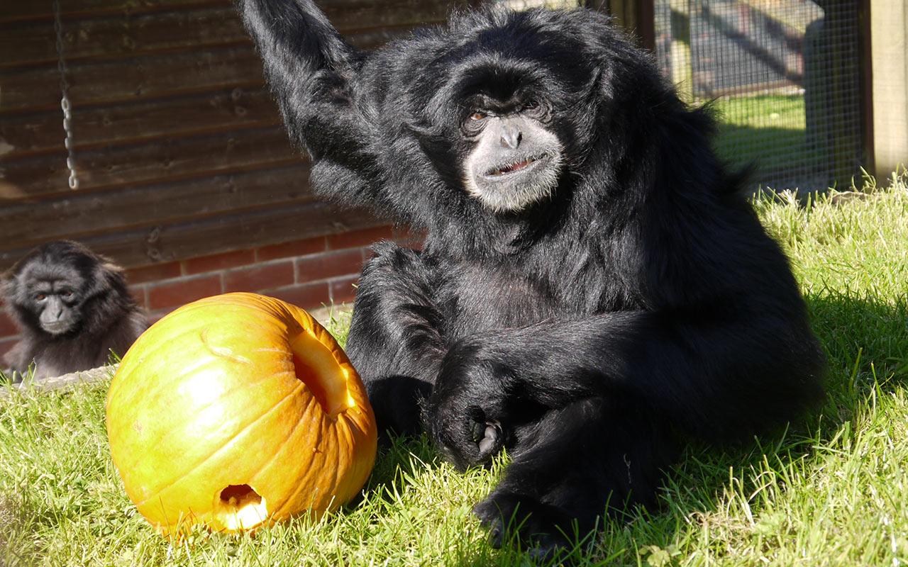 Siamang Gibbon with a pumpkin